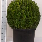 zwarte-pot-bol-60-65-cm