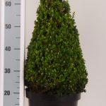 zwarte-pot-kegel-55-60-cm